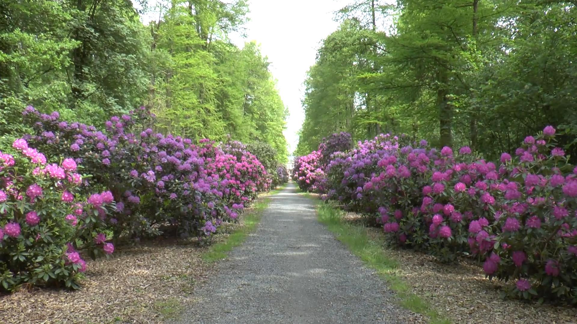 rhododendron weg in hagenburg unterwegs in niedersachsen. Black Bedroom Furniture Sets. Home Design Ideas